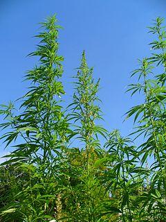 240px-Cannabis_sativa_001